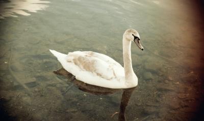 swan 2 057 (2)